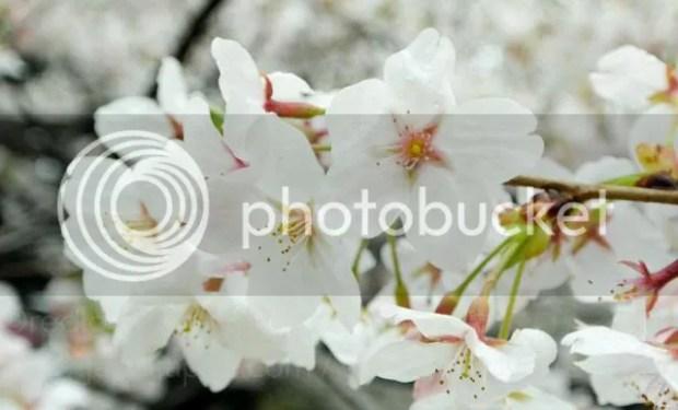 photo Sakura-meguro-17.jpg
