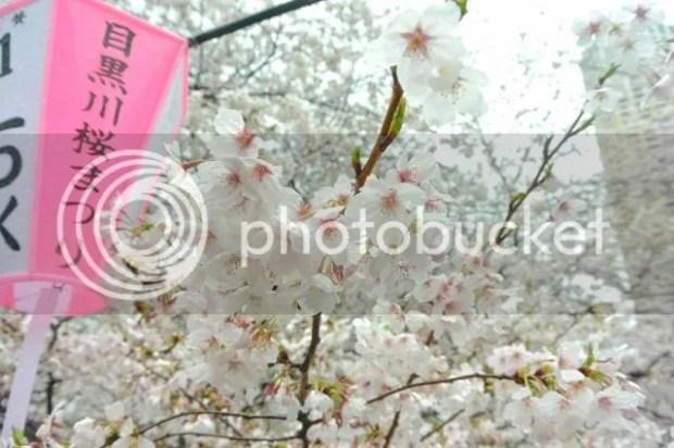 photo Sakura-meguro-3.jpg