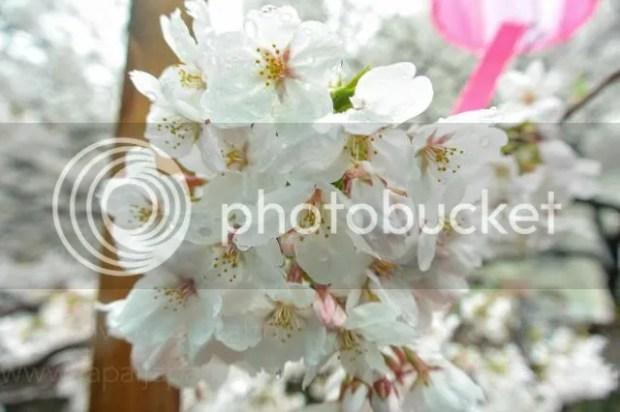 photo Sakura-meguro-5.jpg