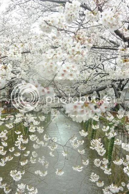 photo Sakura-meguro-7.jpg