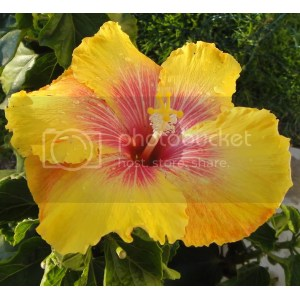 Double Really Enjoy Fact That I Have To Do Nothingto It To Make It Bon Temps Hidden Valley Hibiscus Fertilizer Hidden Valley Hibiscus Fertilizer Reviews Very Happy This Cv