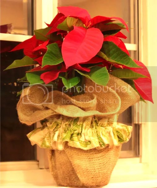 burplap poinsettia