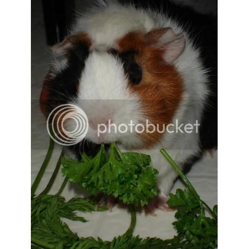 Medium Crop Of Guinea Pig Forum
