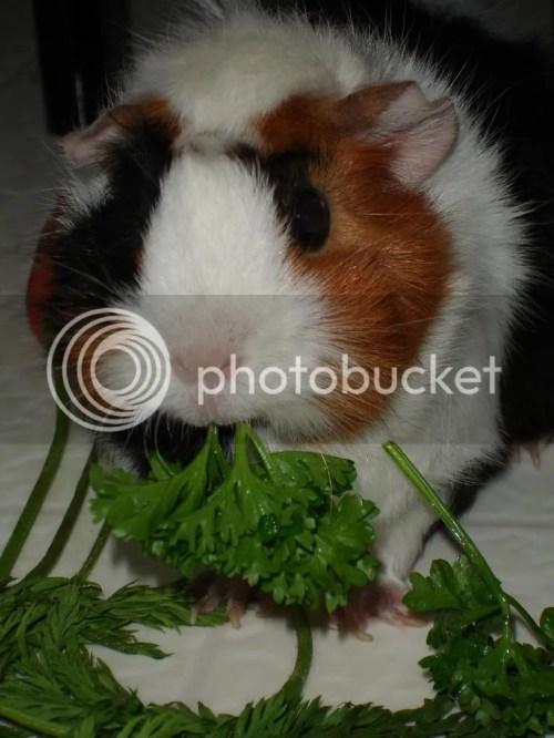 Medium Of Guinea Pig Forum