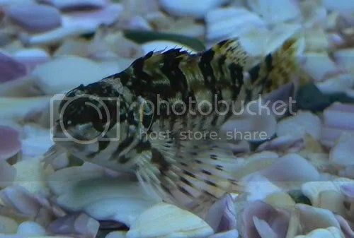 New Zealand Native Marine Fish.   Saltwater   Aquarium World