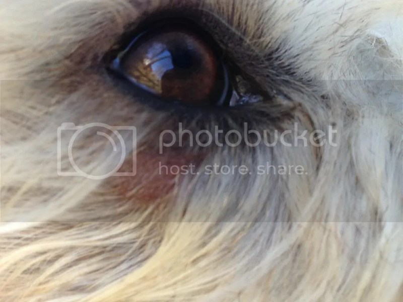Large Of Dogs Eyes Are Red