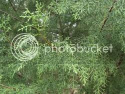 Small Of Carolina Sapphire Cypress