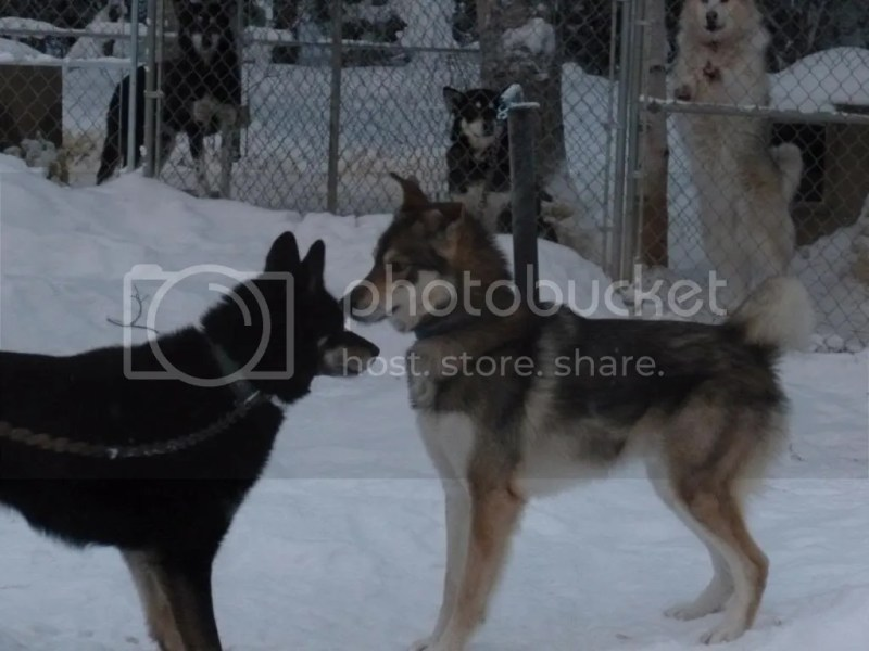 Large Of Types Of Huskies