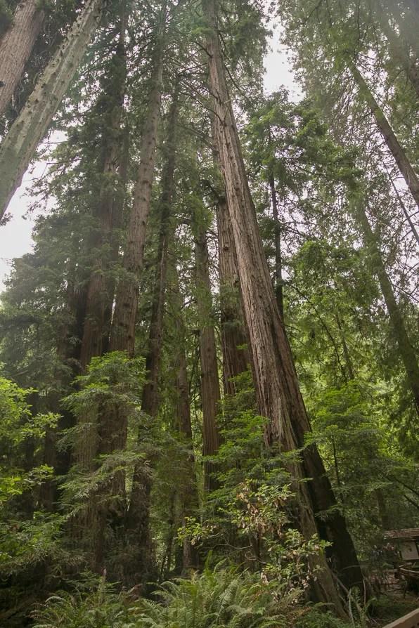 Redwood trees at Muir Woods, California