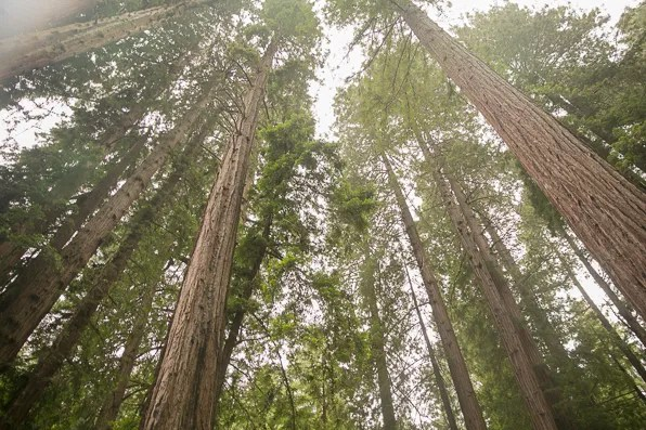 California Redwood trees at Muir Woods