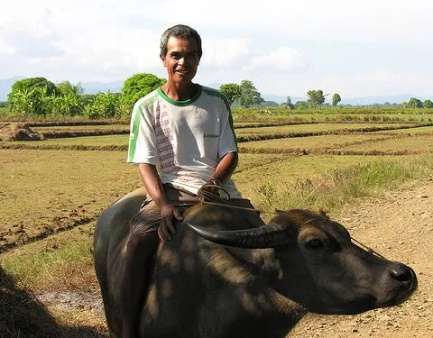 Filipino Farmer Philippines Carabao