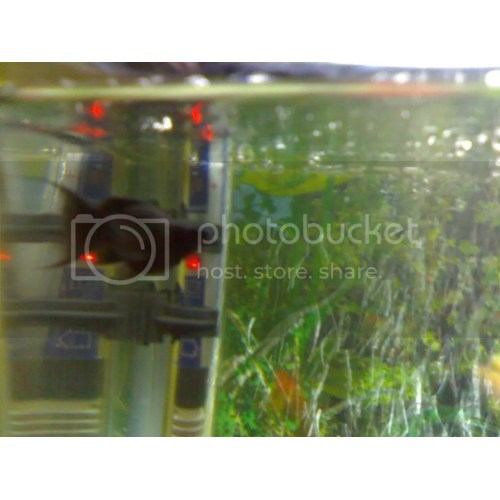 Medium Crop Of Black Molly Fish