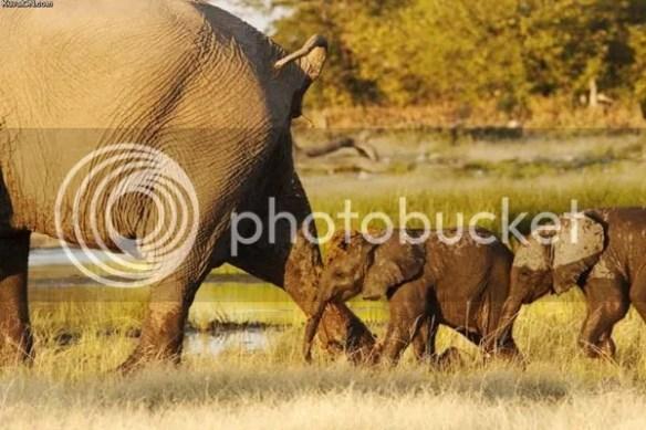 Balega-elefantului.-nb_zpsvipeqpwz.jpg?r