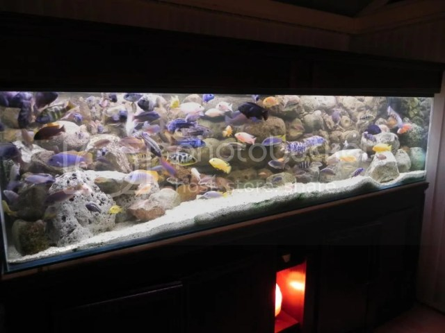 For Sale 8x2x2 Malawi display tank with cabinet and 150  fish