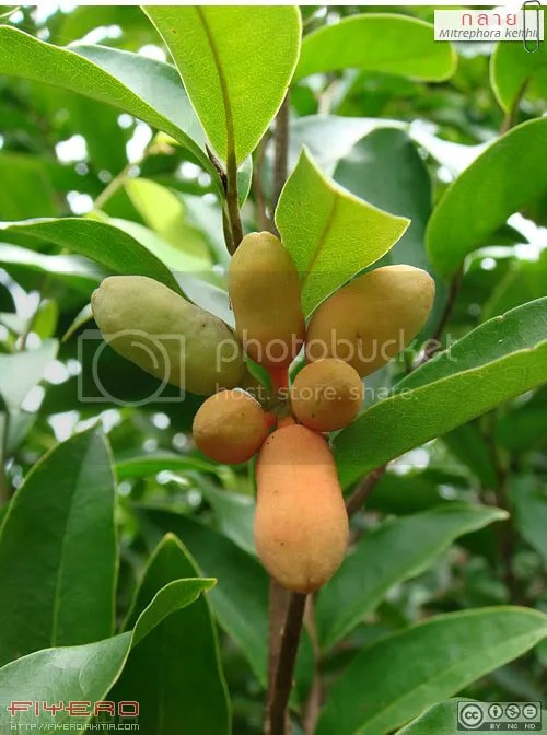 กลาย, ต้นกลาย, ดอกกลาย, กล้วยค่าง, Mitrephora keithii, ลำดวนเหลือง, มหาพรหม, วงศ์กระดังงา, ออกดอกทั้งปี, ไม้ดอกหอม, ต้นไม้, ดอกไม้, akitia.com