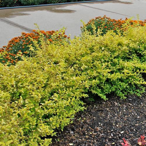 Medium Crop Of Deer Resistant Shrubs