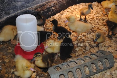 Chickens & Ducks at The Boyce Feed & Seed