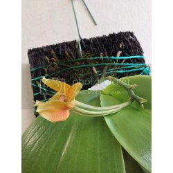 Small Crop Of Orchid Leaves Turning Yellow