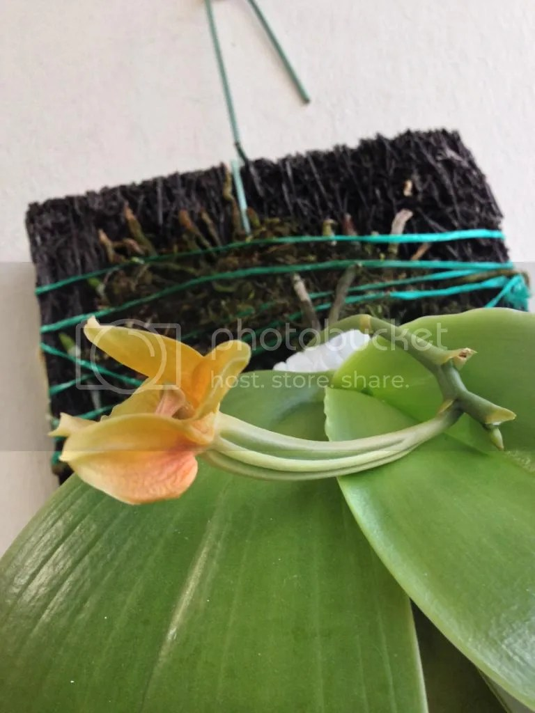 Large Of Orchid Leaves Turning Yellow