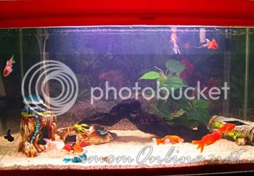feng shui aquarium goldfish