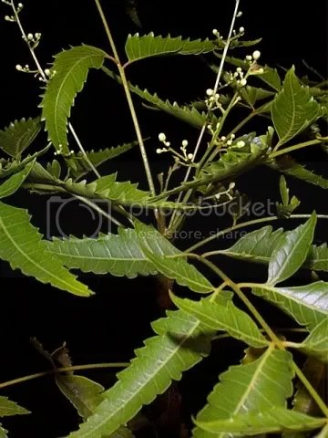 neem tree leaves