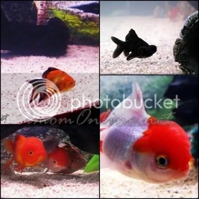 feng shui aquarium black moor redcap oranda shubunkin fantail