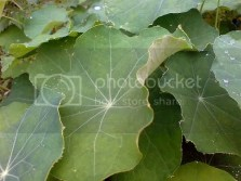Frilly Nasturtiums
