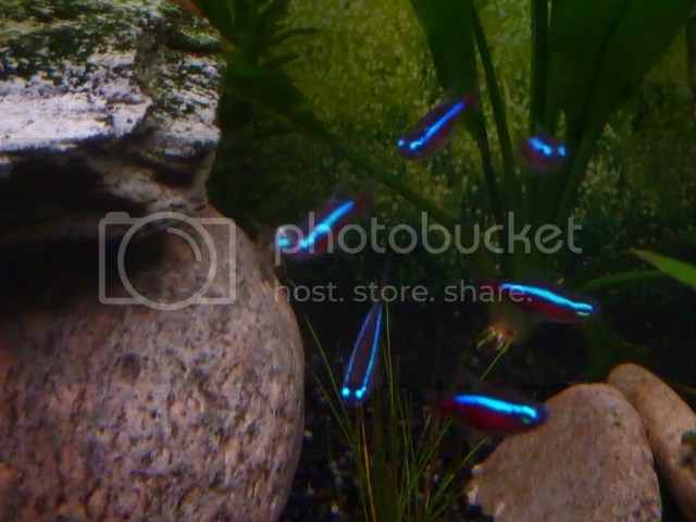 we have a neon tetra that looks poorly, it has frog eyes is very