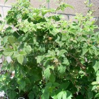 How to Prune Bababerries and other Everbearing Raspberry Plants