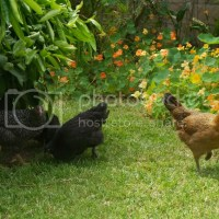 Chicken Resistant Plants