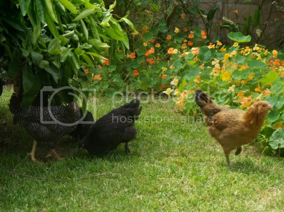 100 2401 Chicken Resistant Plants