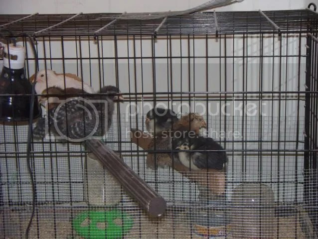 The metal fold up dog crate turned into a temporary indoor chick brooder