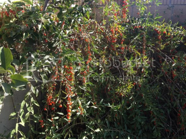 Gojiberries garden photo flavor taste drought