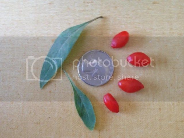 Goji size berry comparison best variety