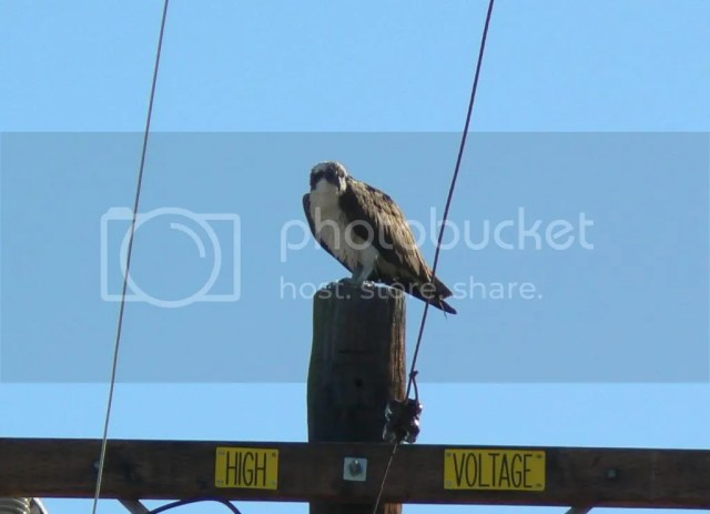 Osprey urban hawk power pole backyard los angeles orange county long beach