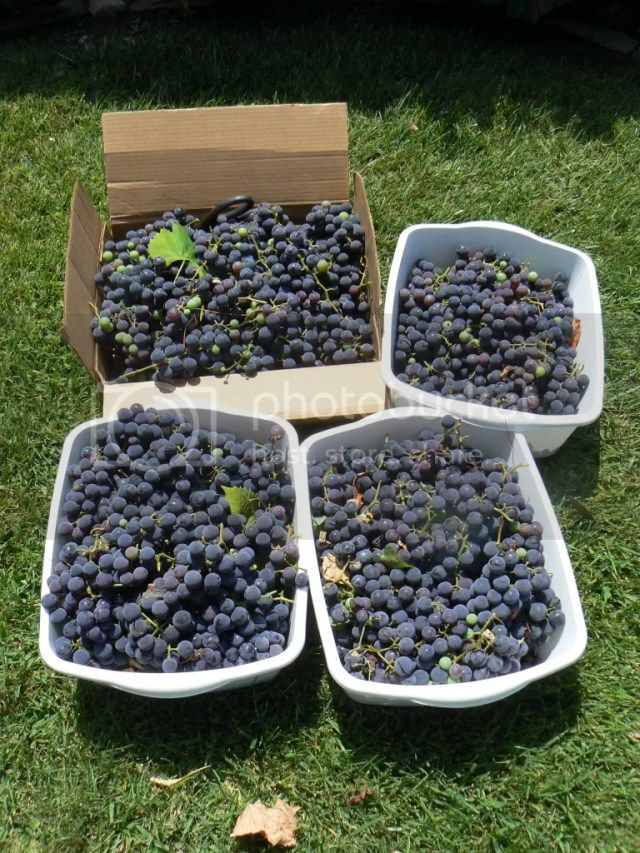 P1270616 Learning to Can: Concord Grape Jelly   Part 1
