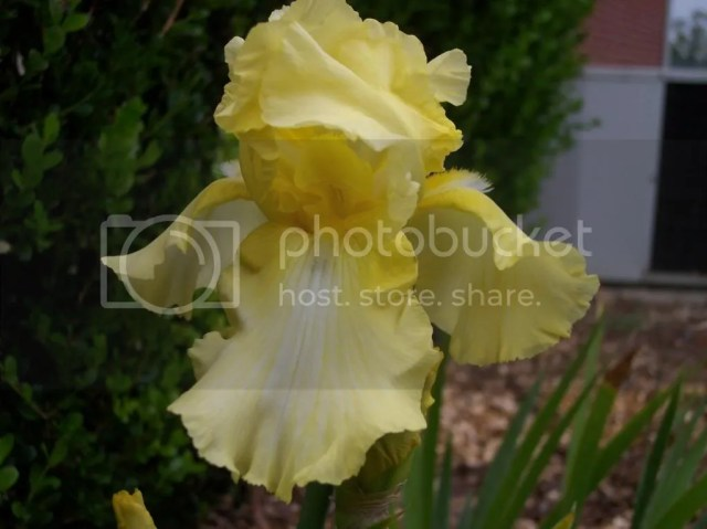 reblooming iris bulbs buy best favorite recommendation shop source ebay