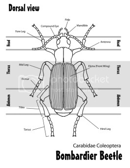 Bombardier Beetle Top view Pictures, Images and Photos