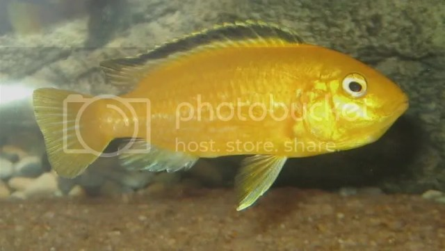 30 gallon fuLL of about 25 african cichlids. but some died because my