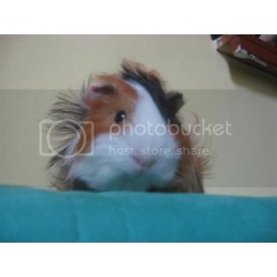 Small Crop Of Guinea Pig Forum