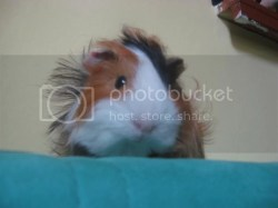 Small Of Guinea Pig Forum