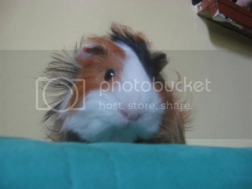 Medium Of Guinea Pig Forum