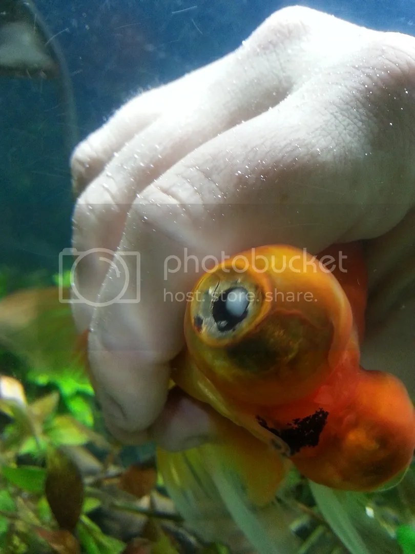 Cosmopolitan I Have Been Researching Potential Causes Problems My Telescope Gfish Has Been Gfish Troubles F How Long Do Gfish Live Up To How Long Do Gfish Live Without Oxygen Treatments houzz-02 How Long Do Goldfish Live