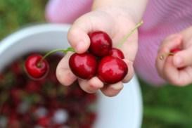 cherry8