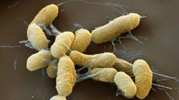 bacteria peste