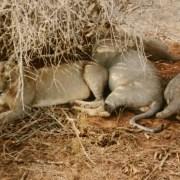 Wie gut, dass die Löwen nicht hungrig gewesen waren. Wir waren wirklich sehr nah dran.
