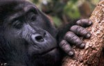 Gorillas, baboons and the wildilfe tourist 'You' in Uganda