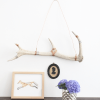 How to Clean and Display Antler Sheds