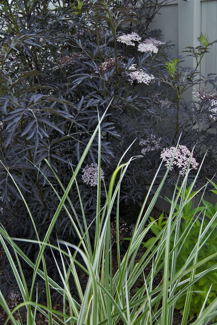Showy With Foliage That Calls I Like Igardendaily Black Lace Elderberry Seeds Black Lace Elderberry Care Re Is Something About Green houzz 01 Black Lace Elderberry