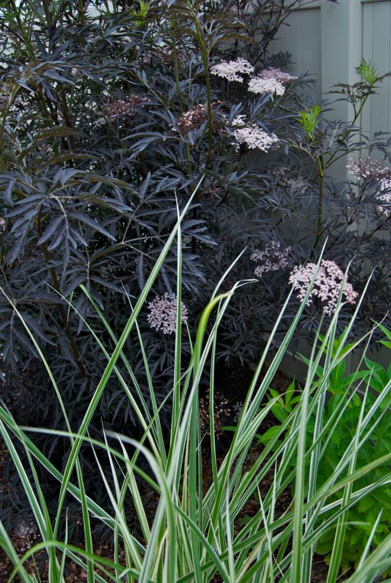 Large Of Black Lace Elderberry